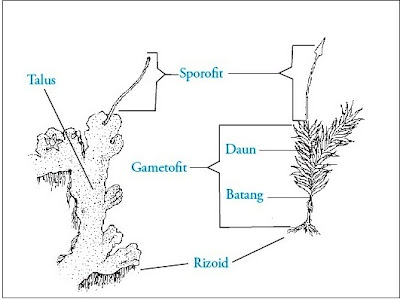 Struktur / Bagian tubuh lumut