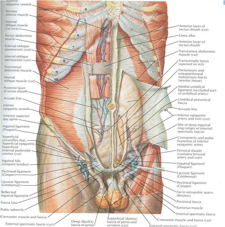 Docs Network Clinical Anatomy Of Anterior Abdominal Wall Rectus