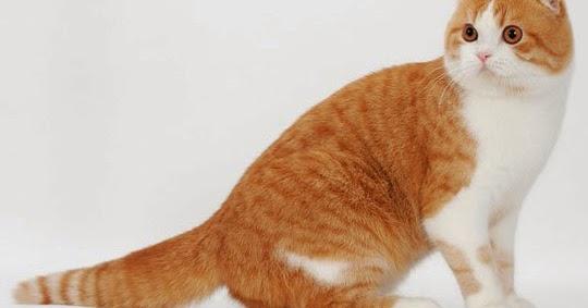 Kucing Scottish Fold Kucing Persia