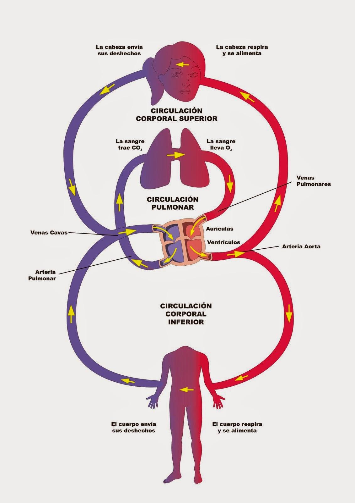 Circuito Circulatorio : La circulación sanguínea cryptorich