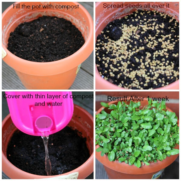 How To Grow Fenugreek Without Soil - Celebration In My ... Things To Know Before You Buy