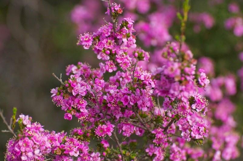 Mountainbush (Kunzea affinis)