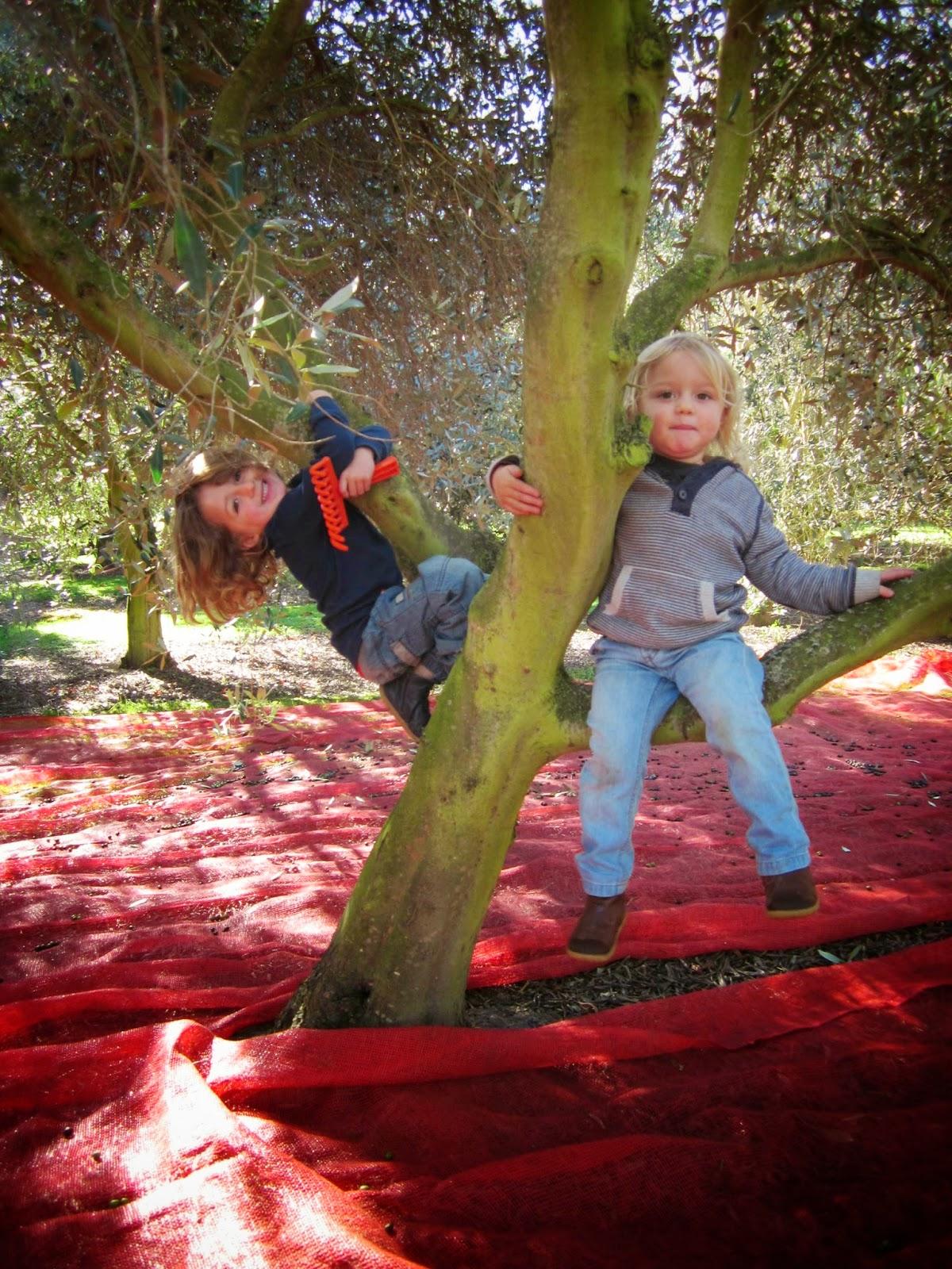 Olive picking the Wairarapa