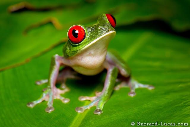 صور لأجمل اللقطات التصويرية Red-eyed+Tree+Frog