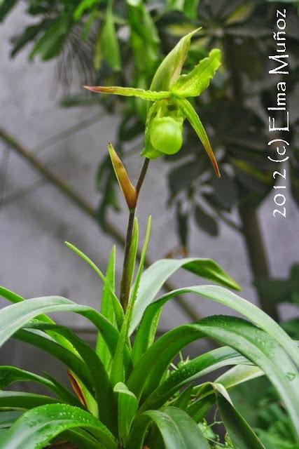Phragmipedium boissierianum 2012 (c) Elma Muñoz