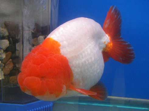 Aquarium Fish - Lionhead Goldfish Pictures Fun Animals Wiki, Videos ...