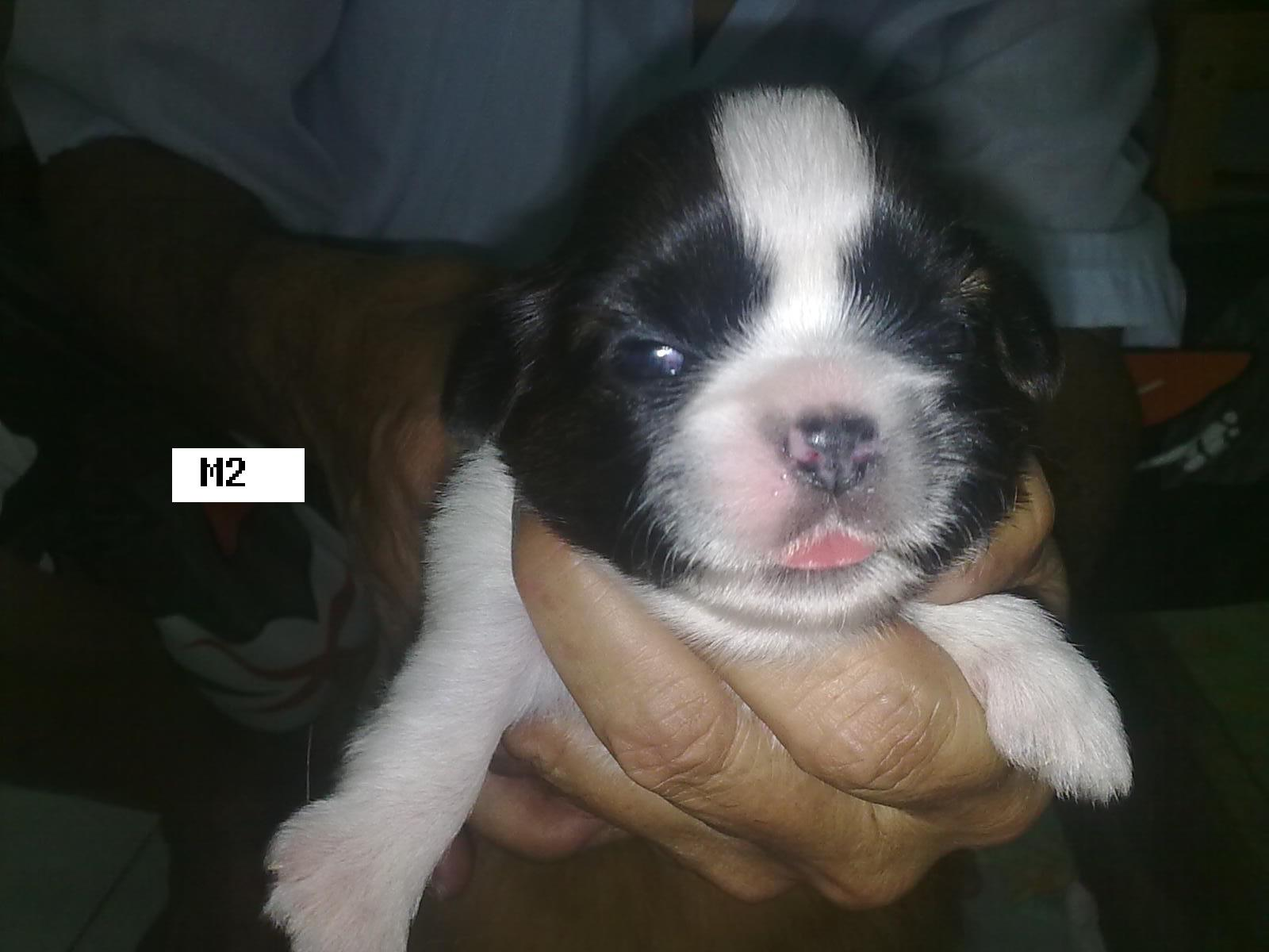 New Shih Tzu Puppies | Batu Pahat Pet Shop