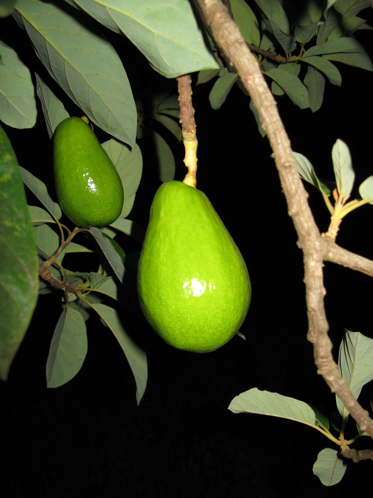 Avocado Season And Some Threats To Watch Out For