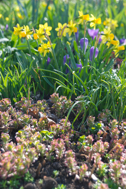 Narcissus 'Tete-a-tete', purple Crocus 'Grand Maitre' and pink shoots of Lysimachia punctata 'Alexander'.