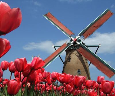 hoa tulip 19