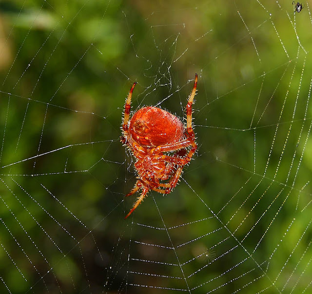 Common red spider on orb web