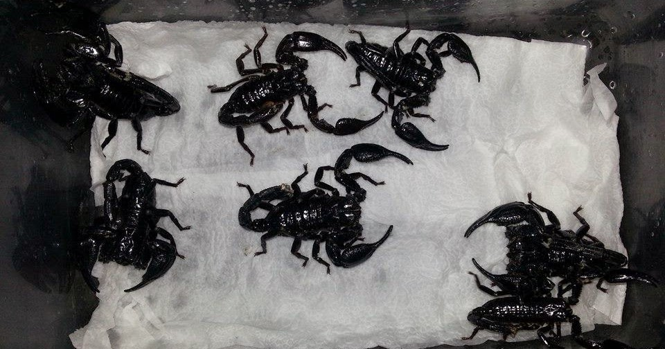 H Spinifer Scorpions Exotic Pet Keepers: He...
