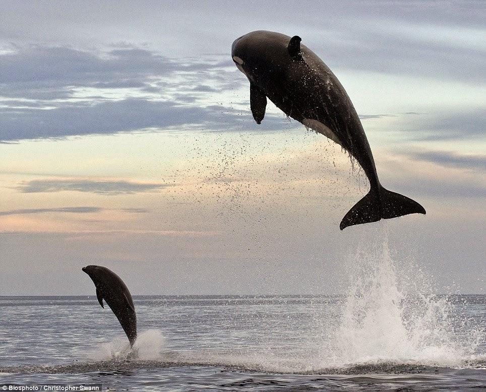Orca salta 5 metri per inseguire delfino