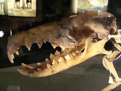 Deinogalerix skull