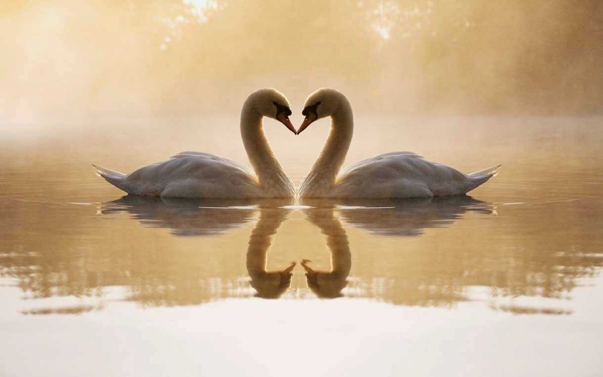 Amazing Loving Swans Wallpaper