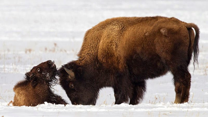 10. A bison cow and her calf in the snow. - 30 Animals With Their Adorable Mini-Me Counterparts