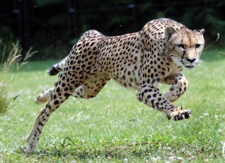How Fast Do Cheetahs Run How Fast Can a ...