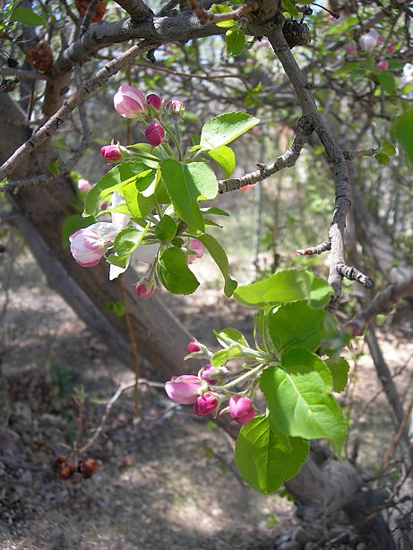 apple blossoms in Albuquerque
