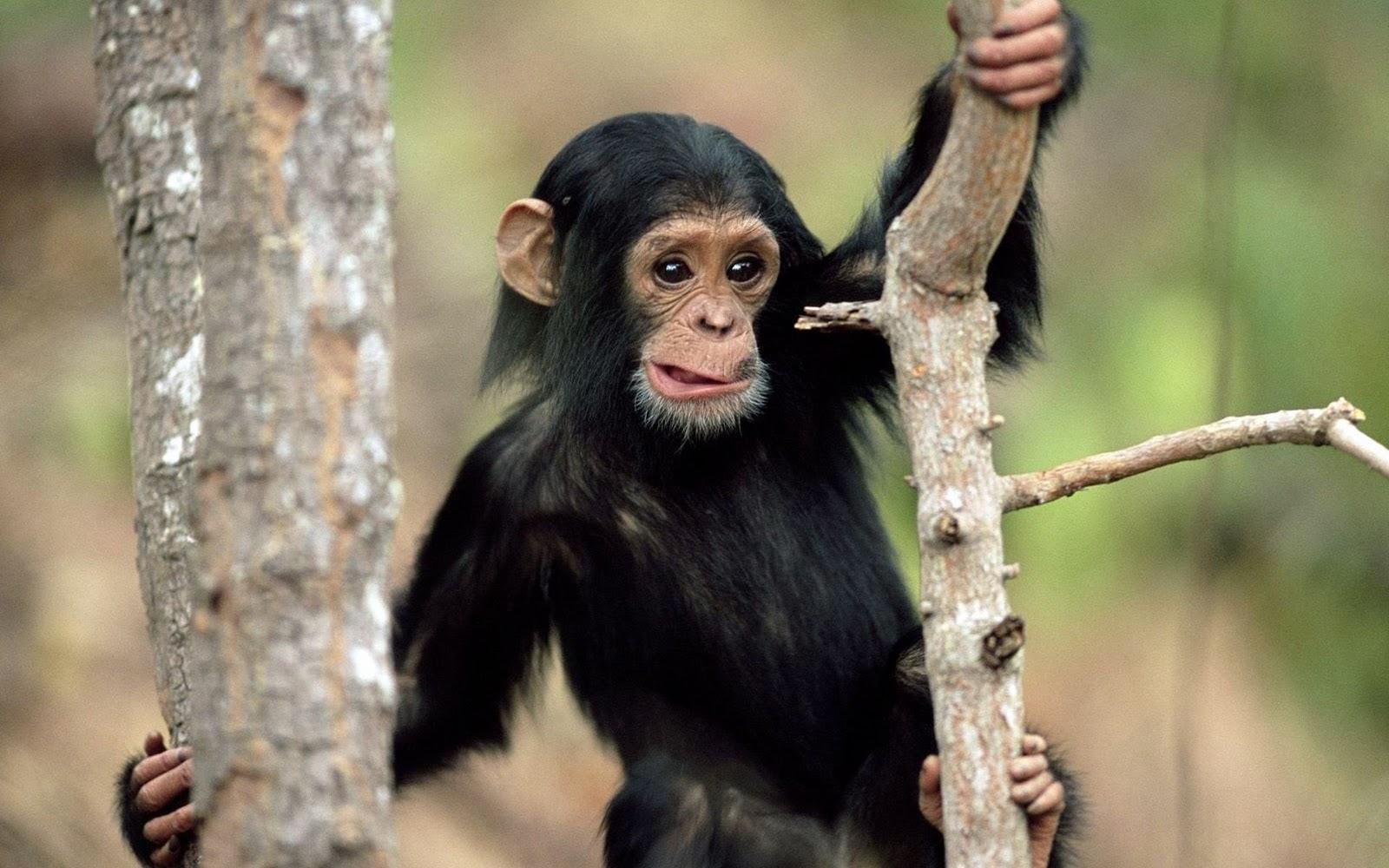 Wildlife Monkeys Cute Wallpapers For Desktop 2011