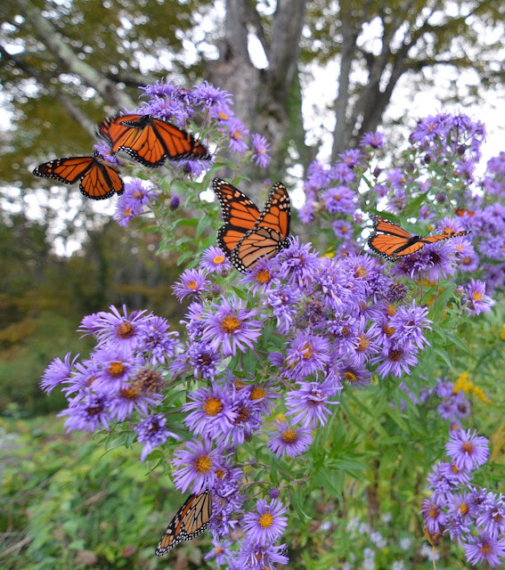 Wild And Native New England Asters Attract Wildlife