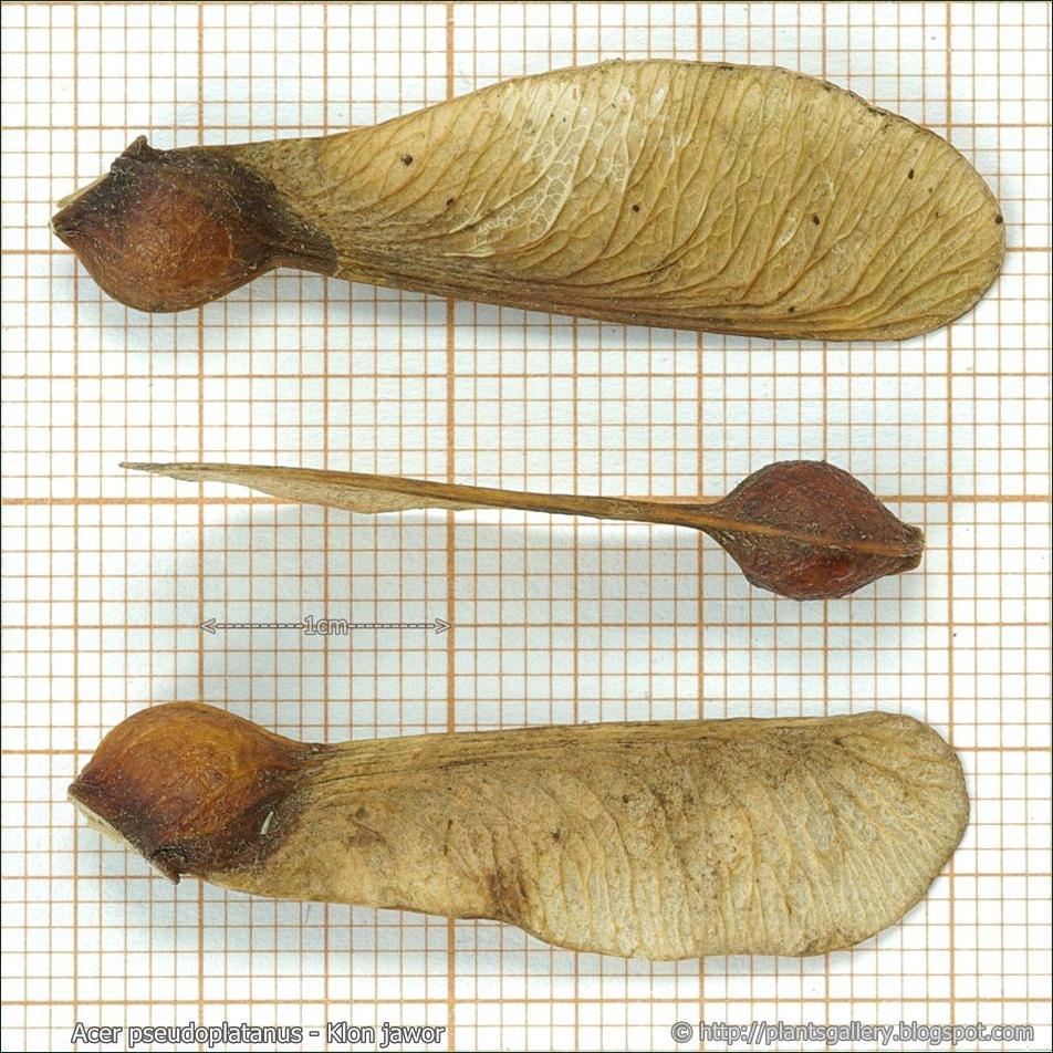 Acer pseudoplatanus seeds - Klon jawor nasiona