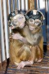 猿 動物実験