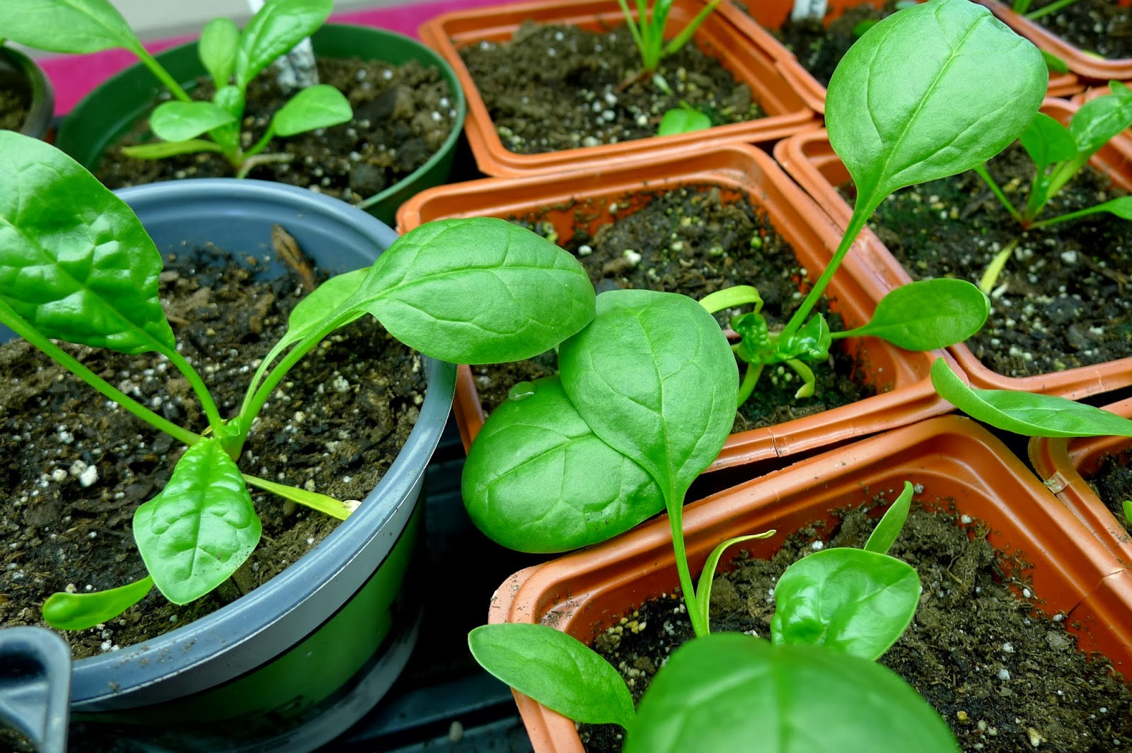 Spinach bolting under grow lights