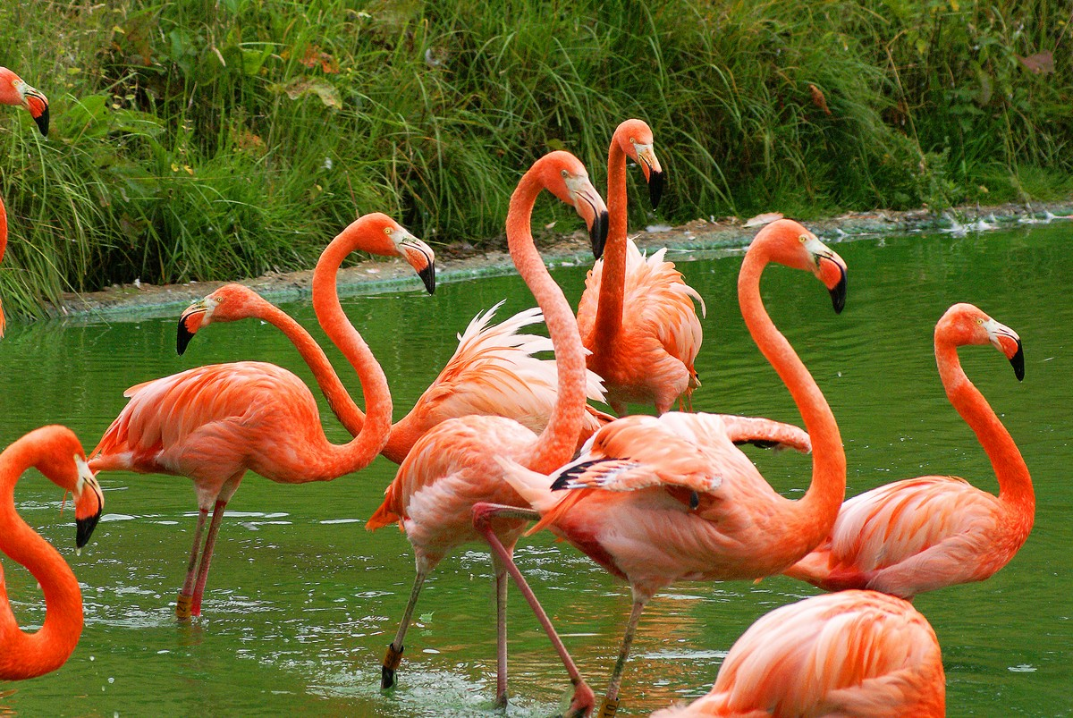 Flamingo  Bird Basic Facts amp; Beautiful Pictures  Beauty Of Bird