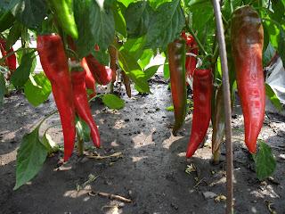 vkusniogorod - семенные помидоры – горький перец