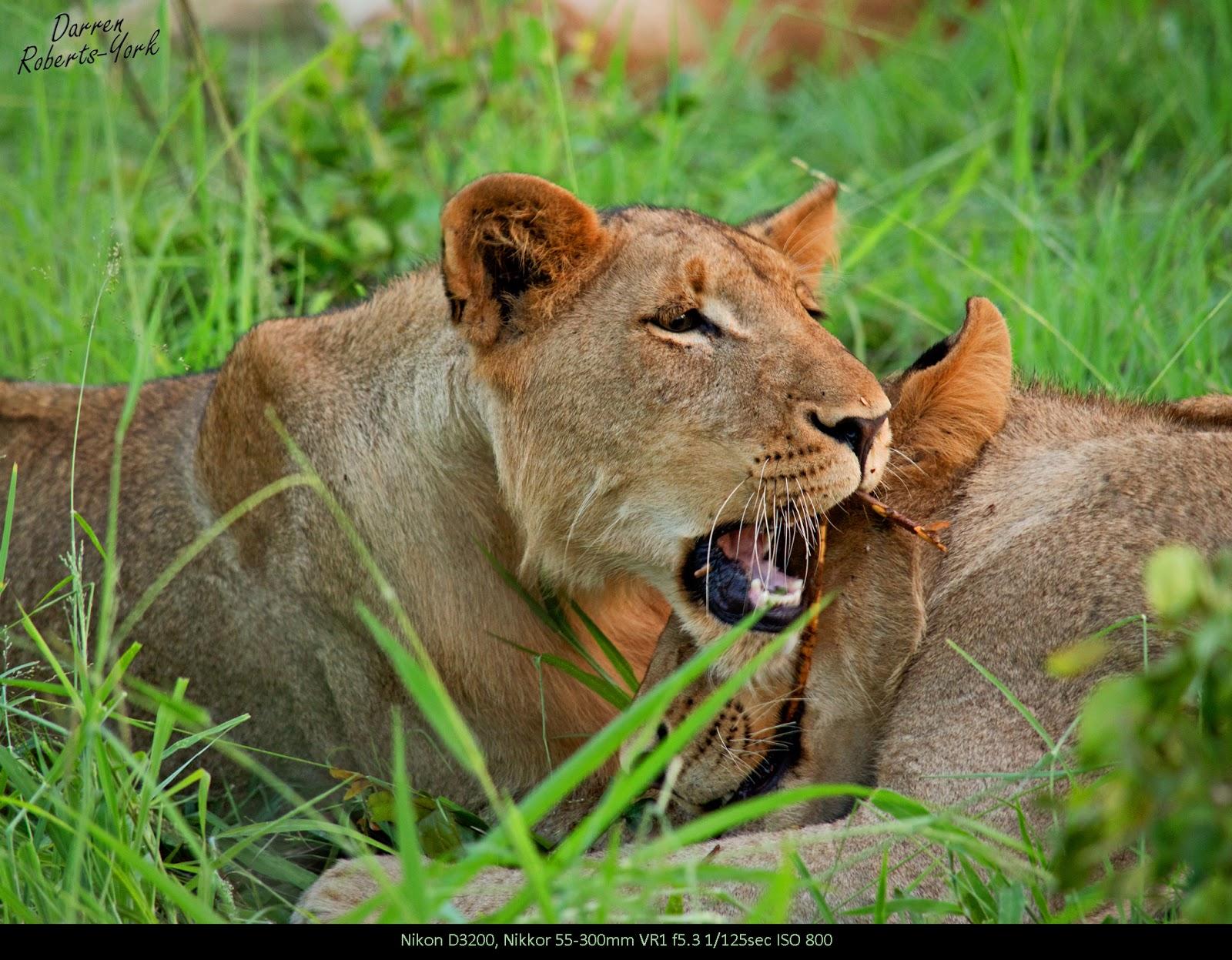 Honey badger vs lion testicles - photo#28