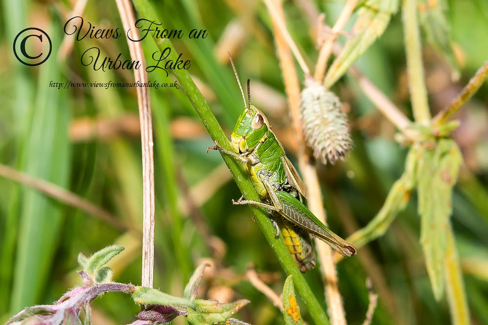 Stripe-Winged Grasshopper - Tring Park, Herts