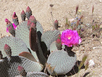 Cactus in bloom on Warren Point Trail, Black Rock, Canyon, Joshua Tree National Park