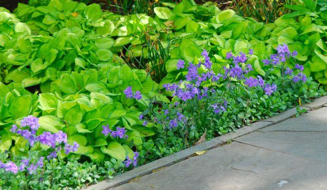 Phlox stolonifera 'Sherwood Purple' blooming along the sidewalk with some small-leaved, chartreuse Hosta 'Emerald Tiara'.
