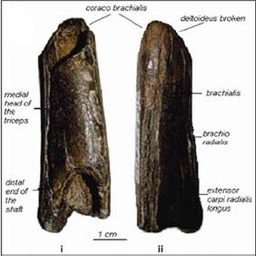 Hominin humerus, Netankheri fossil, hominin fossil, fossil from India, Indian hominin, India fossil, Narmada fossil, Narmada valley popualtions
