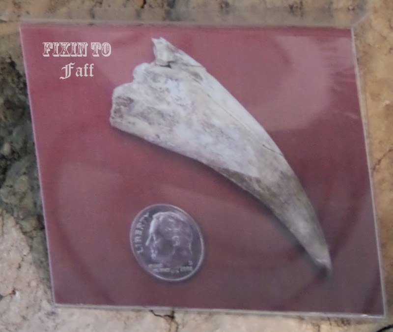 A closer look at the placard marking the juvenile tiger's tooth and comparison to a dime coin.
