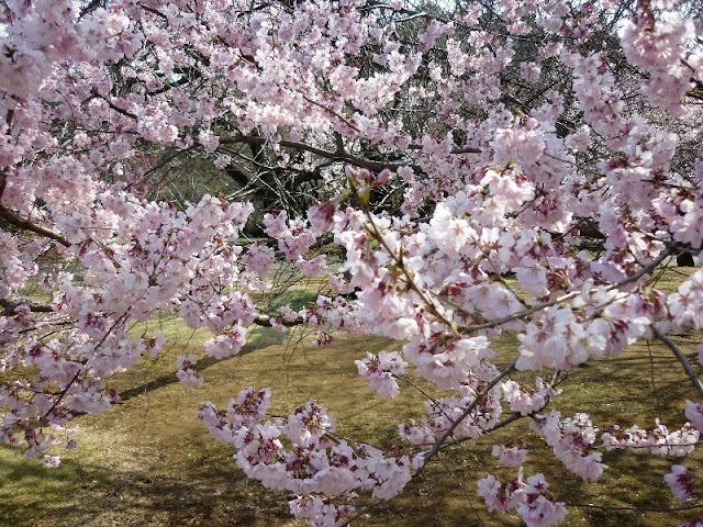 dove osservare la fioritura dei ciliegi a tokyo
