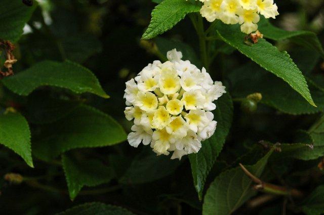 Floraciones en m laga y m s lantanas - Plantas muy resistentes ...