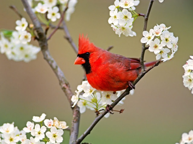 cardinal, red cardinal, spirit, guardian