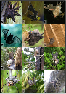 Bat-Eating Spiders