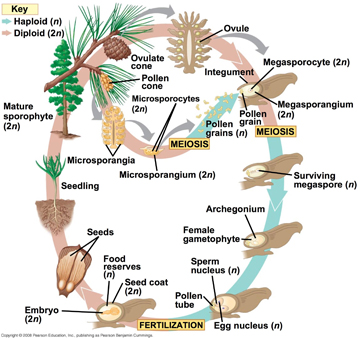 Jessicas wonderful world of plants gymnosperms gymnosperms have developed seeds that encase and protect their embryos the dominant phase in the gymnosperm life cycle is the diploid sporophyte stage ccuart Image collections
