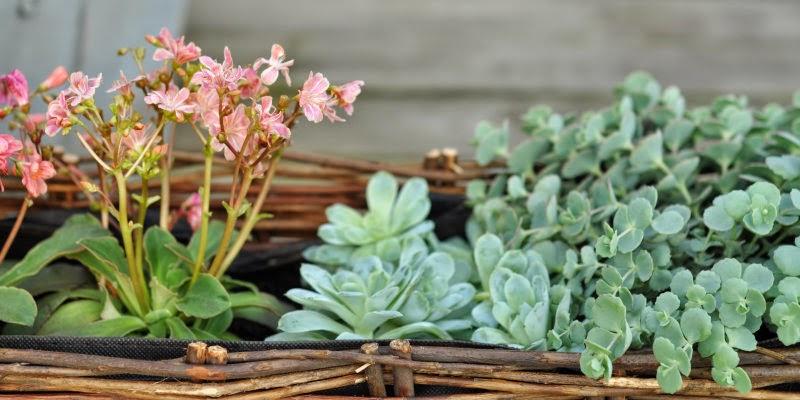Havefolket: tØrketÅlende planter til sommerens krukker