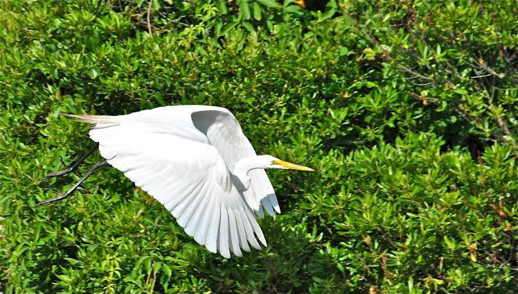 nc great egret