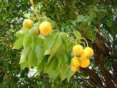 Fruto do Trapiá
