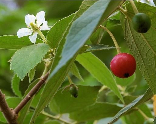 Pohon Buah Kersen - Seri diabetes