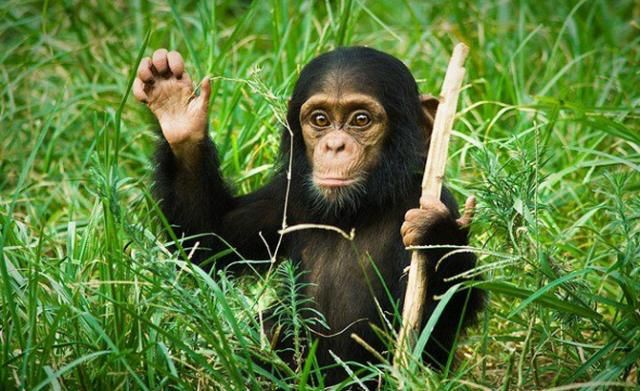 A baby chimpanzee waving his hand, funny animals, cute baby chimpanzee, cute baby animal pictures