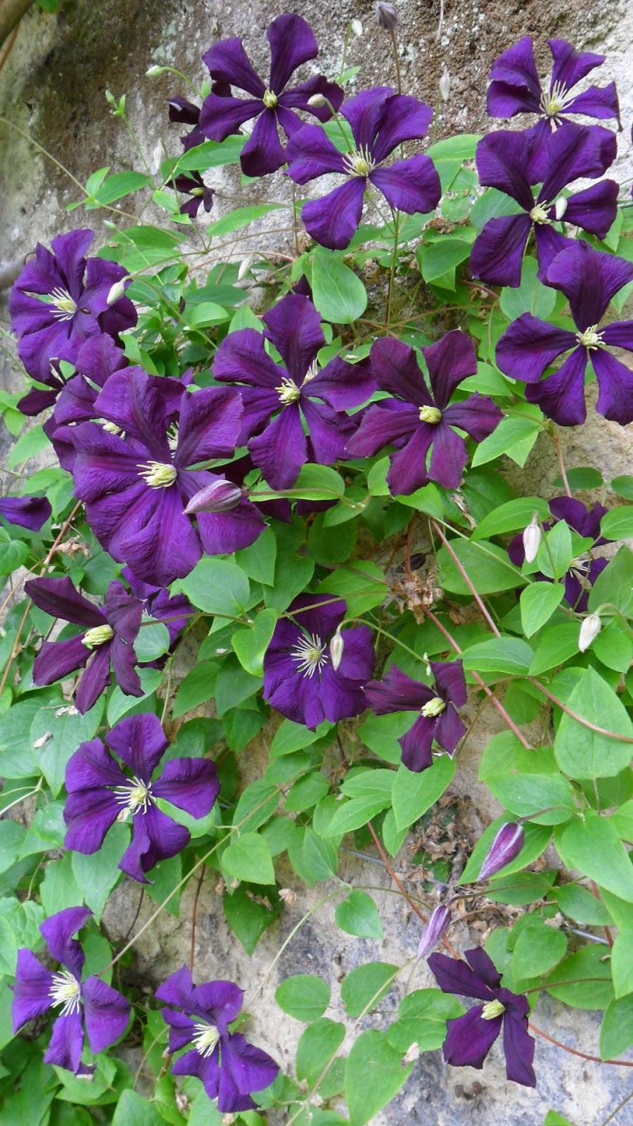 worcester college gardeners clematis 39 etoile violette. Black Bedroom Furniture Sets. Home Design Ideas
