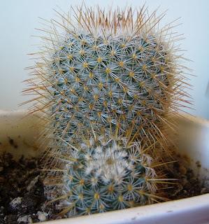 foto del cactus mammillaria geminispina