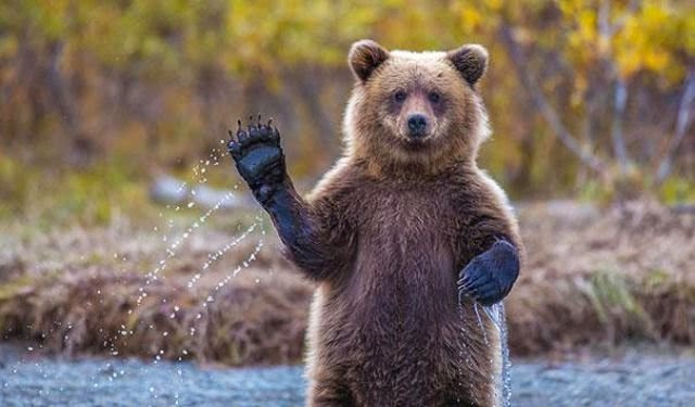 http://funkidos.com/pictures-world/wild-life/bears-similar-to-the-people