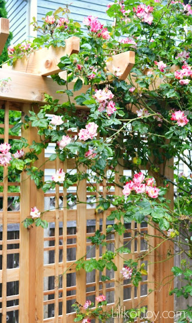 Summer Garden Tour: Fourth of July climbing rose
