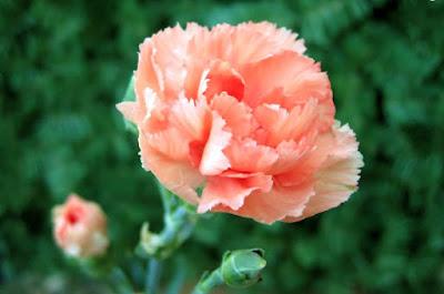 Bài thuốc chữa bệnh thận và đường tiết niệu từ hoa cẩm chướng